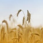 Hur vet man att man har glutenintolerans?